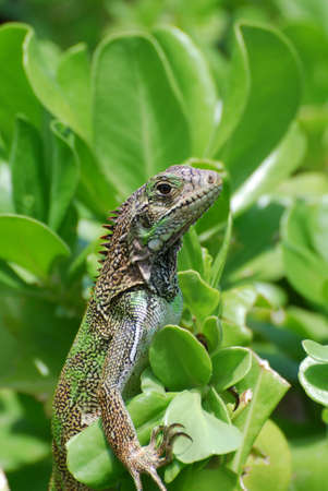 Good looking brown iguana in the top of a green shrub.