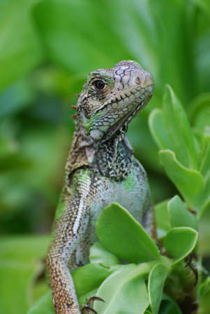 Fantastic looking iguana perched in a green bush. 写真素材 - 149485540
