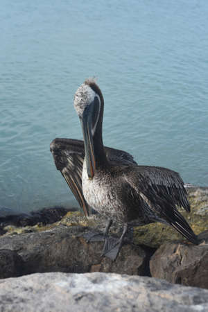 Peaceful bird watching photo of a large pelican in aruba Banque d'images