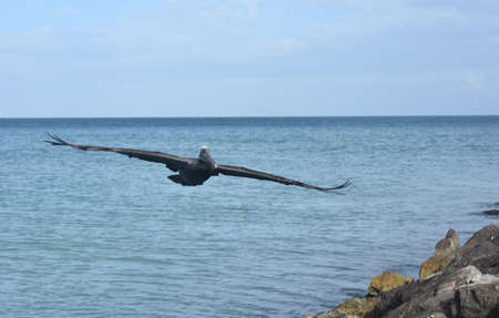 Adorable pelican flying over the tropical ocean