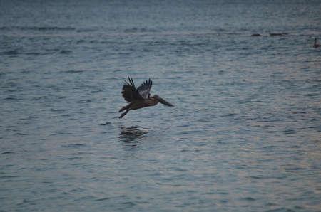 Beautiful pelican taking flight in aruba