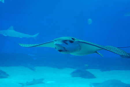Face of an amazing stingray swimming along underwater.