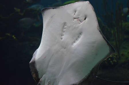 Ray showing his underside in the water. Standard-Bild