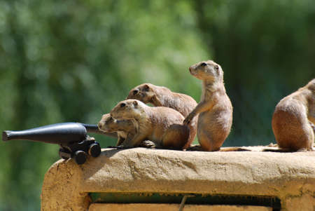 Prairie dogs ready to do battle with a cannon. 版權商用圖片
