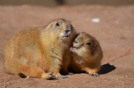 Great look at a prairie dog biting at his friend.