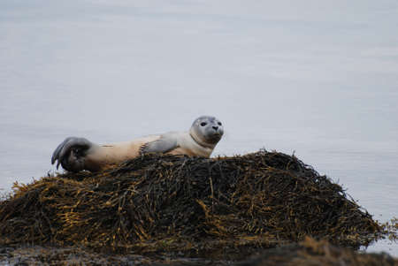 Seal pup balancing on a rock in Casco bay.