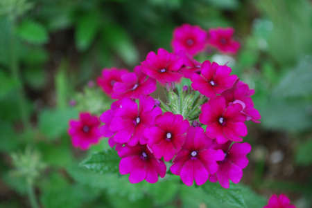 Blooming pink garden heliotrope flower blossoms in a large cluster. Zdjęcie Seryjne