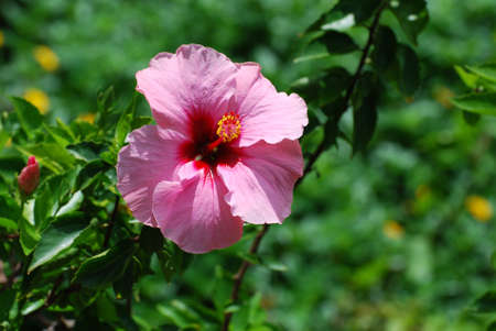 Flowering pink hibiscus plant in a garden.