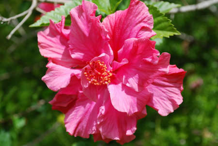 Pink hibiscus plant in full bloom.