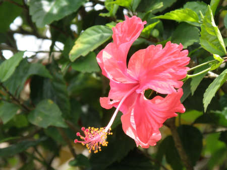 Flowering pink hibiscus with an extended stamen.