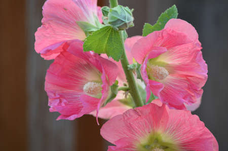 Blooming pink hollyhock flower blossom.