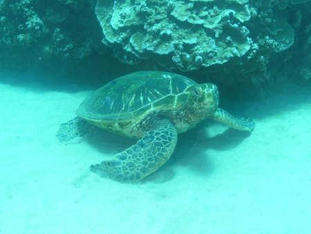 Hawskbill sea turtle swimming underwater.