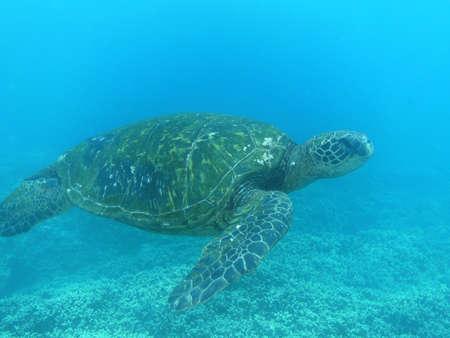 Great looking sea turtle swimming along underwater.