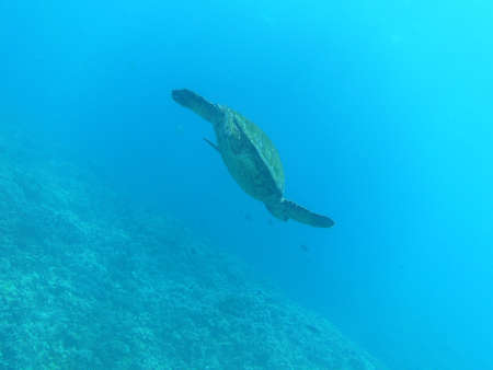 Sea turtle swimming up to the ocean's surface as seen by diver.