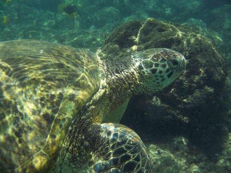 Loggerhead sea turtle swimming underwater.
