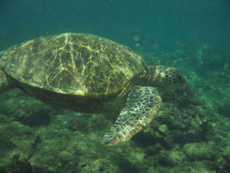 Amazing loggerhead sea turtle swimming along under the ocean's surface.