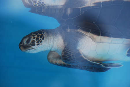 Baby sea turtle swimming underwater and being reflected.