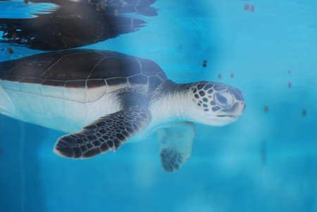 Adorable baby sea turtle swimming underwater. Foto de archivo