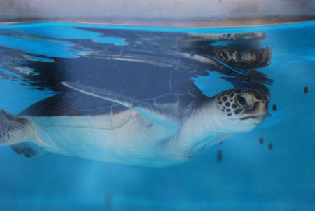 Adorable sea turtle swimming under the surface of the water.