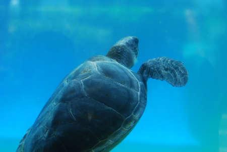 Amazing capture of a sea turtle swimming along underwater. Foto de archivo