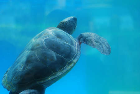 Amazing look at a leatherback sea turtle swimming along underwater.