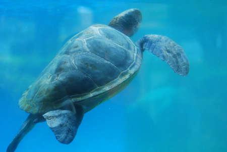 Sea turtle swimming along underwater toward the surface. Foto de archivo