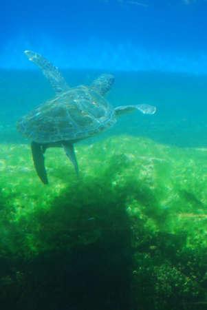 Sea turtle swimming in the ocean underwater.