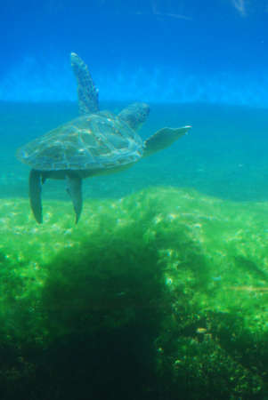 Sea turtle seen while scuba diving underwater.