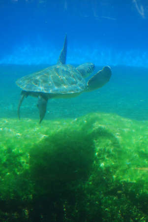 Great look at a sea turtle swimming underwater.