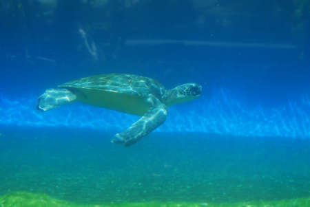 Amazing view of a sea turtle swimming in the deep blue sea.