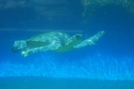 Sea turtle swimming along underwater in the deep blue sea. Foto de archivo