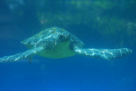 Great look at a sea turtle swimming along the ocean in the deep blue sea.
