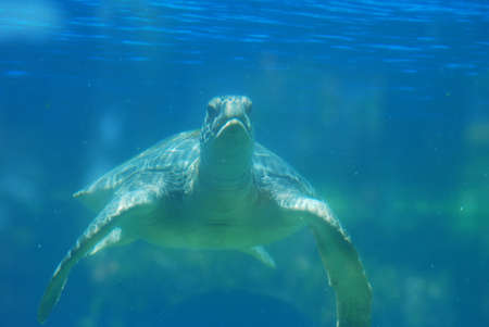 Cute face of a sea turtle swimming underwater.
