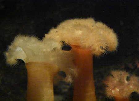 Beautiful sea anemones in an aquarium