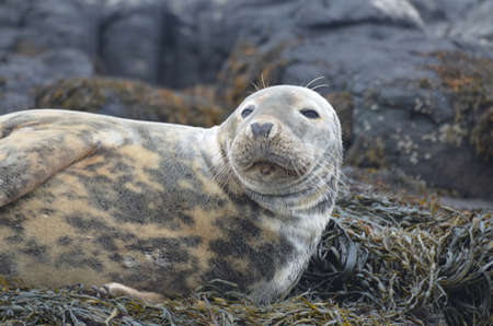 Gorgeous face of a gray seal on a reef.