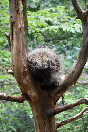 Porcupine sitting poised in the crook of a tree.