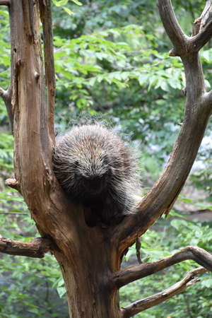 Porcupine ready to climb down the trunk of a tree.