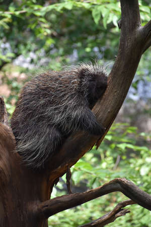 North American Porcupine sleeping in the crook of a tree. Stock Photo