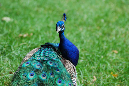 Beautiful peafowl with his feathers trailing after him.