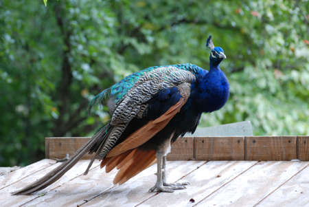 Peafowl standing a top of a coop. 写真素材