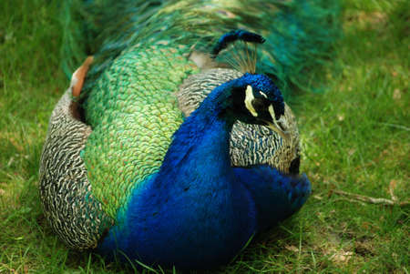 Peafowl with his feather's trailing after him.