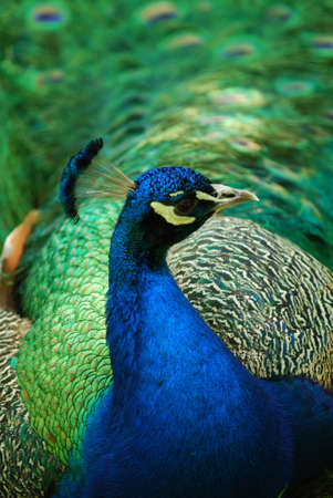 Beautiful peafowl with his feather's trailing after him. 写真素材