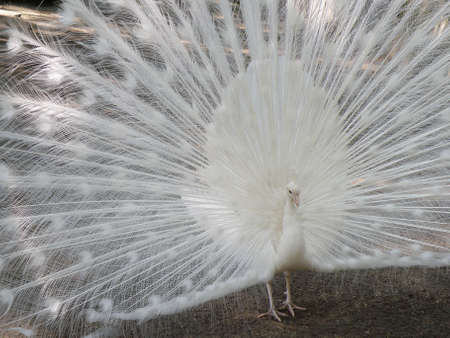 White peafowl with his feathers wide attempting to attract a mate.