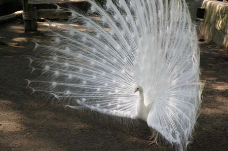 White peacock with his feathers flared for all to see.