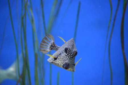 Gorgeous Spotted Trunkfish featured front-on swimming throught the ocean