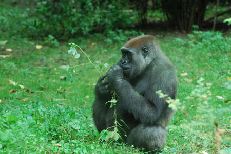 Gorilla snacking on young leaves and shoots. 写真素材