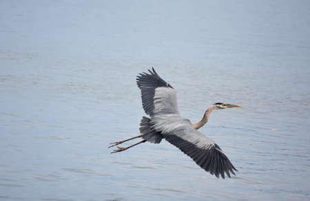 Amazing great blue heron with his wings extended in flight. 版權商用圖片