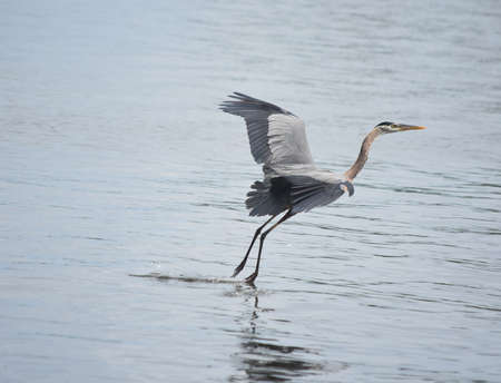 Gorgeous great blue heron flying over the water.