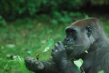 Gorilla snacking on green leaves on a vine. 写真素材