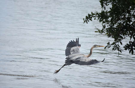 Barataria with a great blue heron taking flight over the water's surface.